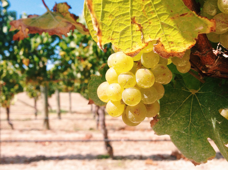 malborough viinirypäle