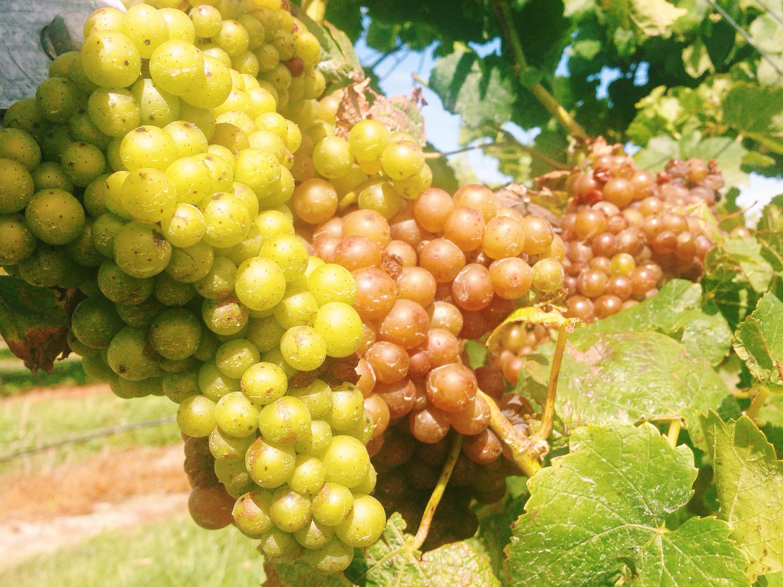 malborough viinirypäleitä